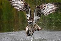 Osprey, Finland