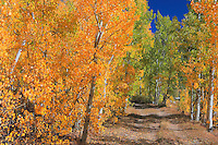 North Lake Road Aspen Grove - Fall Color