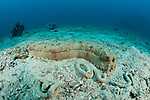 Sea cucumber {Thelonota anax}