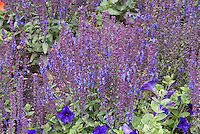 Salvia × superba 'Merleau Blue'  blue flowers with blue petunias, blue color theme of annuals with perennials planted together