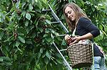 Foto: VidiPhoto<br /> <br /> JAARSVELD - Colinda Schenkel uit Lopik is woensdag hard aan het werk in een kersenbongerd in Jaarsveld. Deze week zwaait de 21-jarige vakantiewerkster de scepter in de 1,5 ha. grote hoogstamboomgaard, die gepacht is door de 19-jarige Pieternel Kers uit Lopikerkapel. Omdat zij deze week echter nog naar school moet, heeft Colinda tijdelijk de touwtjes in handen. Vrouwen de baas dus, hoewel ze hulp krijgen met de kersenoogst en het verjagen van de spreeuwen (heuien) van een paar vakantiewerkers van het andere geslacht. Omdat de kersen door gebrek aan zon niet snel rijpen, kan er voorlopig nog rustig aan geplukt worden. De hoogstamboom staat vol met oude rassen. De jonge plukkers moeten hoog de boom in om de vruchten te kunnen oogsten. Volgens Colinda is het werk gezellig en relaxed, ondanks de vele regenbuien van de laatste dagen.
