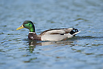 Mallard, Anas platyrhynchos, Kent UK, swimming on water, Leeds Castle grounds, drake, male