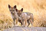 Jackal pups, Botswana