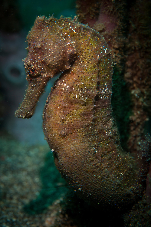 zebra-snout seahorse: Hippocampus barbouri, Bunaken National Park, Indonesia