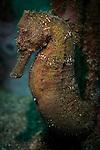 zebra-snout seahorse: Hippocampus barbouri, Bunaken National Park, Indonesia