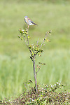 Brazoria County, Damon, Texas; an adult, male American Kestrel (Falco sparverius) bird perched on a small tree growing in a pasture