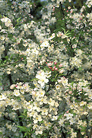 Sargenti crabapple flowers in bloom close up in spring.