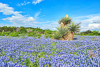 Another capture of a field of bluebonnets in front of a group of blomming yuccas in the Texas Hill Country on a nice afternoon with blue skys.  It has been extremely overcast for ever it seems, so it nice to finally get out and get some photo and this one with the cactus and bluebonnets says Texas more than anything else.