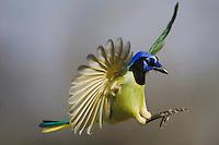 Green Jay (Cyanocorax yncas), adult in flight, Sinton, Corpus Christi, Coastal Bend, Texas, USA