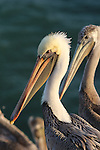 Brown pelicans in California
