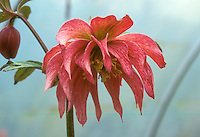 Helleborus hybridus Party Dress Group - pink frilly double flowered hellebore on white background