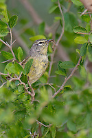 592210035 a wild orange-crowned warbler vermivora celata  on santa clara ranch starr county texas united states