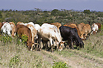 Cattle are an important part of the Kenyan landscape, providing sustenance as well as revenue. Communities that allow wildlife to roam over larger areas while herding cattle from one shelter to the next seem to benefit people and wildlife alike.