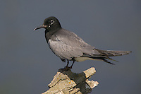 Black Tern perched on an old log