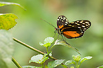 La Guacima de Alajuela, Costa Rica; a Hecales Longwing Butterfly (Heliconius hecale) sits on a leaf , Copyright © Matthew Meier, matthewmeierphoto.com All Rights Reserved