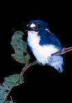 Little Kingfisher at night-time roost.   //   Little Kingfisher - Alcedinidae: Ceyx (=Alcedo) pusilla. Length to 13cm, wingspan to NNcm, weight to 25g. In Australia along the northern coast from the Northern Territory eastwards to Cape York, then south to central Queensland. The smallest Australian kingfisher, nests in a burrow in the bank of a creek or river. Prefers well-vegetated habitats including mangroves and Pandanus copses along coastal waterways. In eastern Indonesia in lowland rainforest creeks, mangroves - usually with a closed canopy, from the Moluccas (=Maluku Province) eastwards through New Guinea to the Solomon Islands (Bougainville Province). Sleeps with beak tucked under back feathers and toes under fluffed-up abdominal feathers, on a thin horizontal twig about 2-2.5m above ground. This individual has just opened its eyes after becoming aware of the photographer's flash. IUCN Status: Least Concern.   //Eric Lindgren//