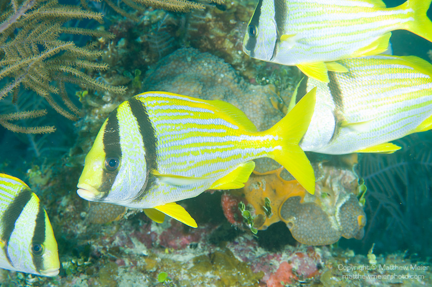 Grand Bahama Island, The Bahamas; several Porkfish (Anisotremus virginicus) swim over the coral reef