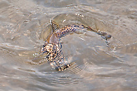 A brown trout takes a fly on the Green River a trout stream in the Driftless Area of southwestern Wisconsin.