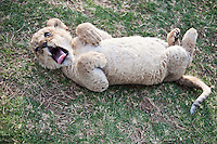 A six week old lion cub at Seaview Lion Park, (Thursday 9th July 2009), Eastern Cape, South Africa ,   Photo: joliphotos.com