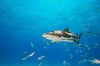 Lemon Shark, Negaprion brevirostris, with sharksuckers, Echeneis naucrates, and Blue Runner jacks, Caranx crysos, West End, Grand Bahama, Bahamas, Atlantic Ocean.