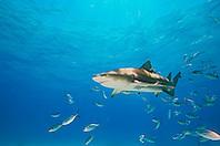 Lemon Shark, Negaprion brevirostris, with sharksuckers, Echeneis naucrates, and Blue Runner jacks, Caranx crysos, West End, Grand Bahama, Bahamas, Atlantic Ocean.