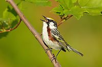 Male Chestnut-sided Warbler (Dendroica pensylvanica) singing in Red Maple Tree, Maine, USA.