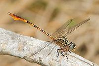 341730001 a wild male narrow-striped forceptail aphylla protracta perches on a large white stick in bentsen rio grande valley state park in south texas