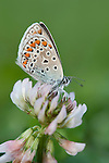 Common blue butterfly, Polyommatus eros, Resting on clover, Lesvos Island Greece  , lesbos
