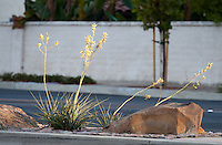 "The setting sun makes this flowering plant (yellow yuccas - Hesperaloe parviflora) and rocks on the median pop against the white wall and tree in the background. This was part of the 2015 rebuild of the Grand Avenue and Longview Drive intersection for Diamond Bar's 2015 ""Grand Avenue Beautification"" project, landscape architecture for the project was by David Volz Design."