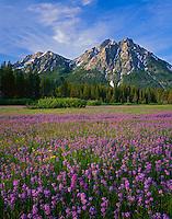 Sawtooth NRA, ID: Meadow of Rydberg's penstemon (Penstemon rydergii) beneath the peaks of Mount McGown