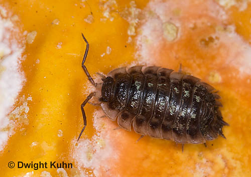 1Y16-513z   Sow Bug on decaying pumpkin, Oniscus sp.
