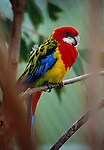 Eastern rosella, Australia