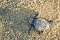 Parque Punta San Cristobal - Turtle Conservation Program by Asupmatoma (Asociacion Sudcaliforniana de Protecion Almedio Ambiente y Tortuga Marina)  Outside of Cabo San Lucas, Baja, Mexico. Turtle is an Olive Ridley hatchling(Lepidocheys olivacea).
