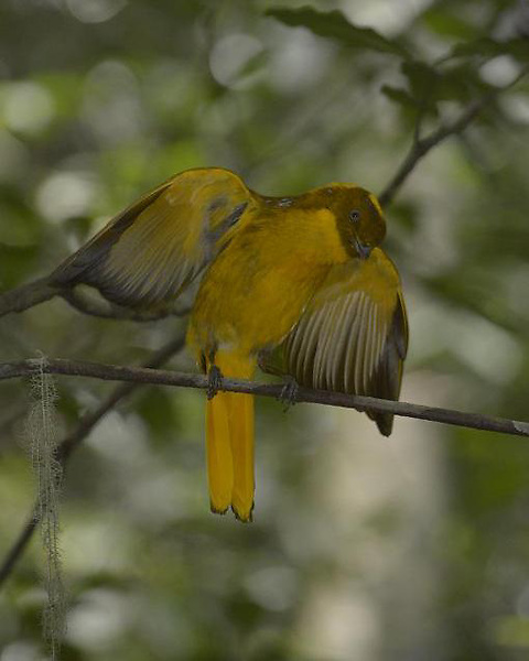 Golden Bowerbird Courtship Display,<br />