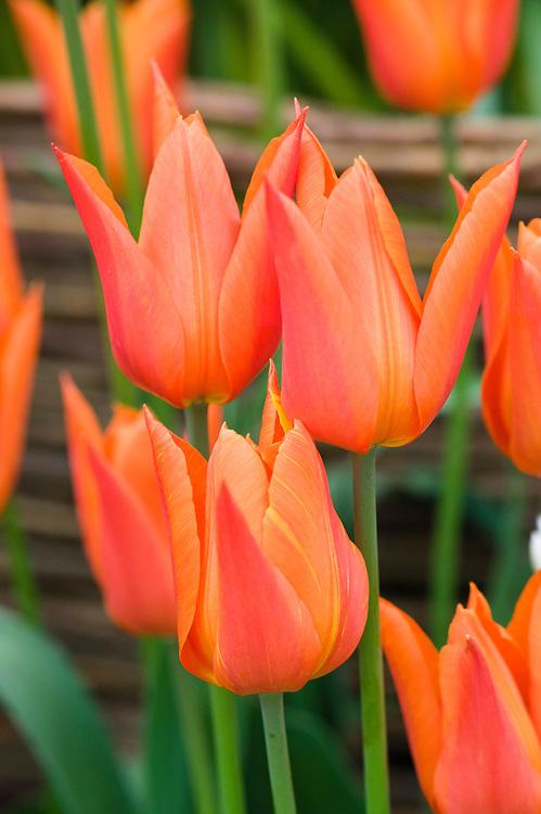 Tulipa 'Ballerina' (Lily-flowered Group).