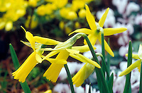 Narcissus 'Mite' (Division 6 Narcissus species Daffodil spring flowering bulb)