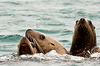 Sea lions, Bartlett Cove, Glacier Bay, near Gustavus, southeast Alaska USA