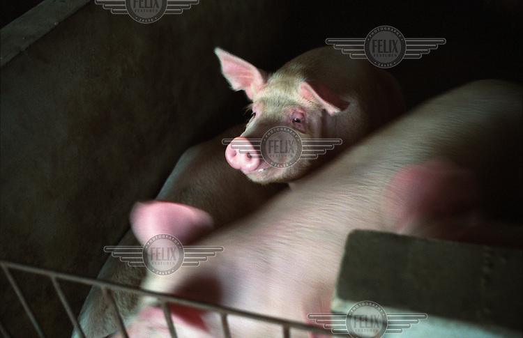 Pigs in a farm in Yongle.