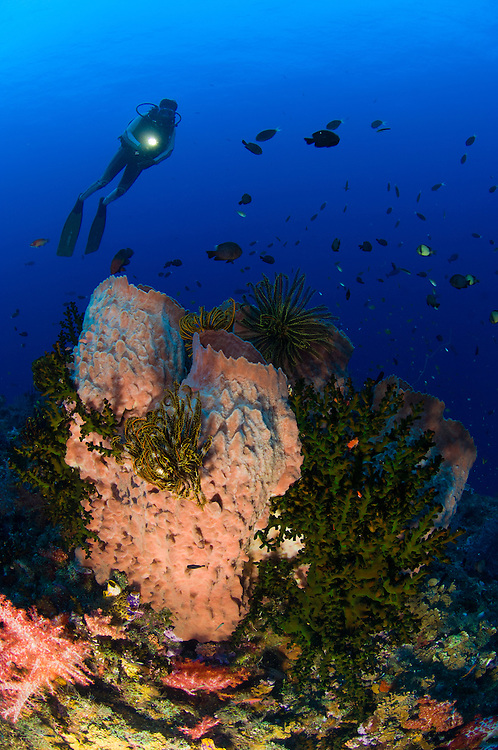 A diver looks on at a giant barrel sponge (Xestospongia testudinaria), Fathers reefs, Kimbe Bay