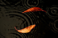 Cherry leaves floating in dark water on a rainy day making a yin yang symbol amidst the raindrops.