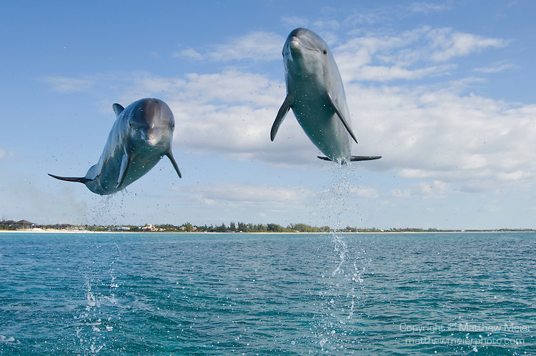 dolphin-bottlenose-jumping-017726.jpg