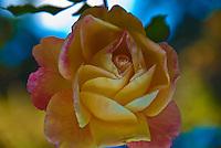 Yellow, Peach Rose Blooming on Vine, Beautiful Image, Rosa, Rosaceae, bud, colorful, Blooming, perennial, flowering shrub, vine, genus, flower, fragrant, garden, romantic, rose, lovely, nature, organic, petal, plant, pretty,