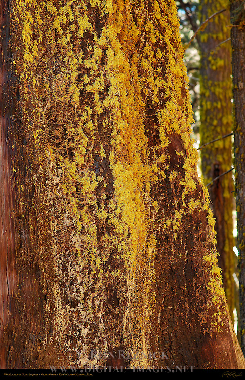 Wolf Lichen on Giant Sequoia, Letharia vulpina, Sequoiadendron giganteum, Grant Grove in Autumn, King's Canyon National Park