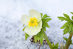 Globeflowers growing in early spring in western Montana after a late snow