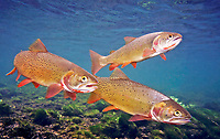 Cutthroat Trout, Underwater