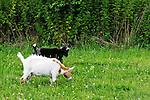 Dwarf Morgan Goats, 6-months old, , Normal J Levy Park and Preserve July 2009 South shore of Long Island, New York, USA, Ecological grounds sustained without electricity, using power generated by solar panels and windmill, with view of marshland, and in distance, Jones Beach Water Tower and Jones Beach Theater.