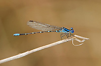 338400007 a wild male blue-ringed dancer damselfly argia sedula perches on a twig near santa ana national wildlife refuge in the rio grande valley of south texas