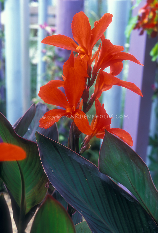 Canna Assaut red flowers with dark foliage