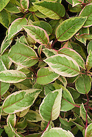 Fuchsia 'Tom West' foliage Meillez  variegated foliage