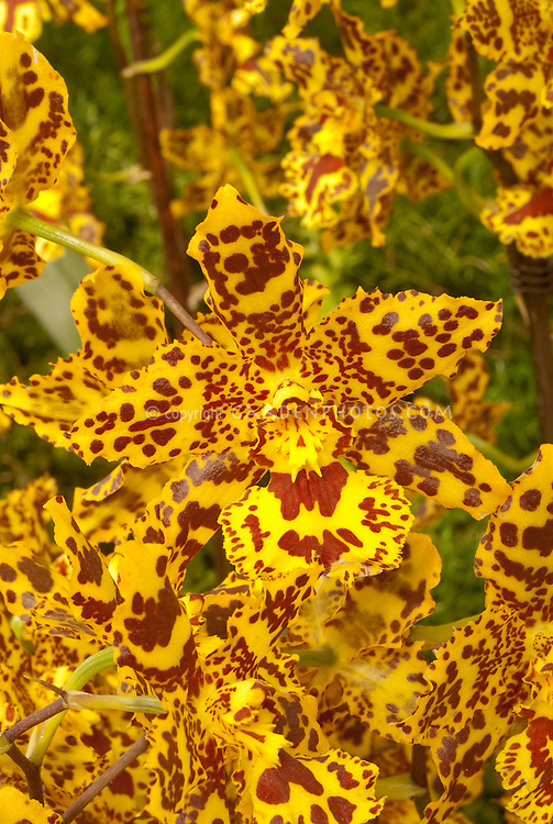 Colmanara Wildcat orchid hybrid in vivid yellow and red patterns (Odontocidium Wildcat) . Correct genus is now Oncostele. Oncostele Wildcat.